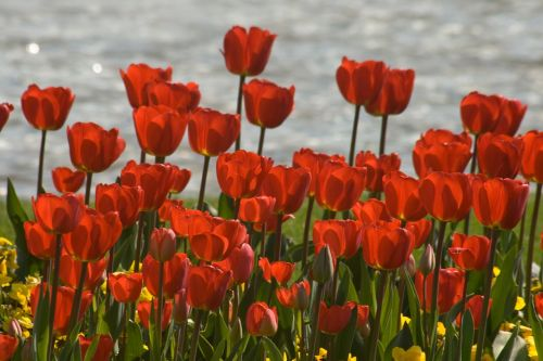 tulips flower discounts spring