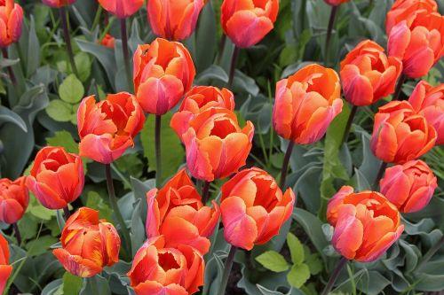 tulips tulipa lily