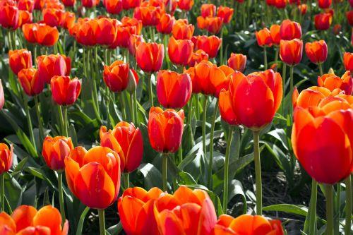 tulips netherlands tulip