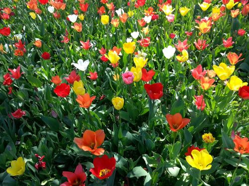 tulips tulip bed colorful