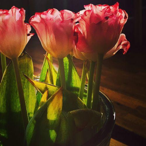 tulips backlight flower