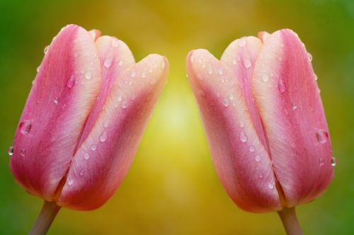 tulips flowers pink