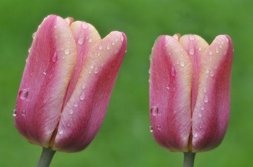 tulips flowers wet
