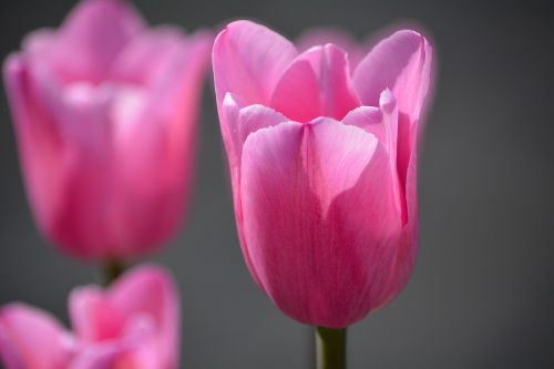 tulips pink flowers