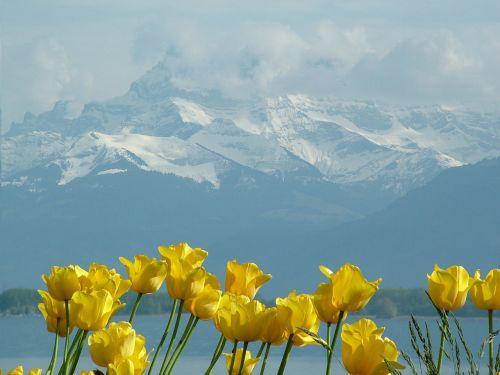 tulips montblanc lake geneva