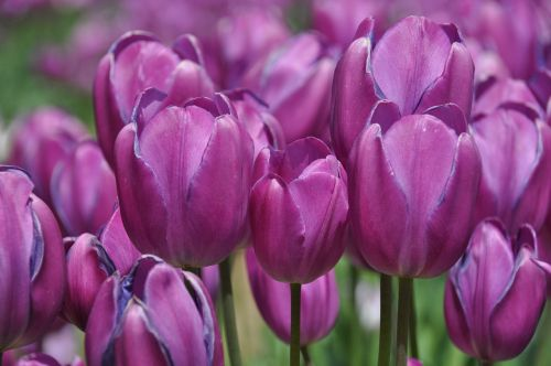 tulpės, tulpių ūkis, gėlė, gėlių, žydi