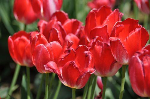 tulpės, tulpių ūkis, gėlės, pavasaris, gyvas, žydėti, raudona, spalvinga, kraštovaizdis