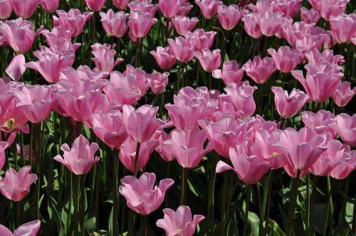 tulpės, tulpių ūkis, gėlės, pavasaris, gyvas, gamta, kraštovaizdis, sodas, spalvos