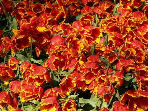 tulpės,gėlės,gėlė,pavasaris,tulpė,lemputė,keukenhof,holland,raudona,tulpių laukai,tulpių laukas,žydėti