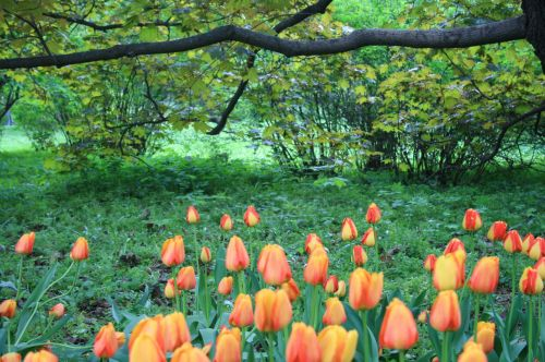 Tulips, Botanical Gardens, Moscow