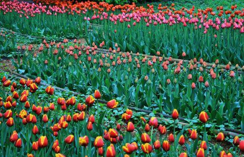 gėlės, tulpės, lovos, raudona & nbsp, geltona, oranžinė, rožinis, tulpės, botanikos sodai, Maskva