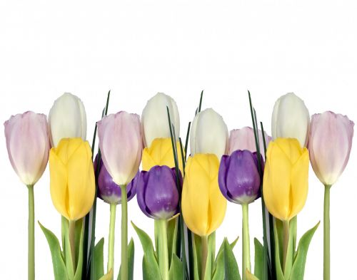 Tulips In A Row