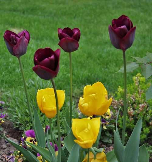 tulips in the garden signs of spring small and large