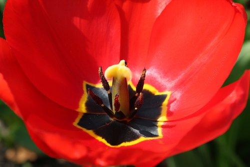 tulpenbluete  red  stamp