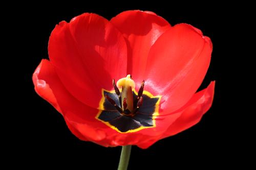 tulpenbluete  isolated  red