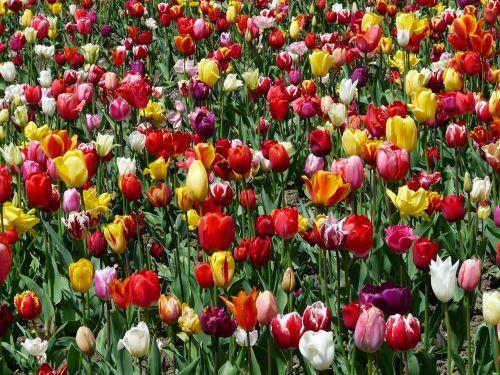 tulpenbluete tulips flowers
