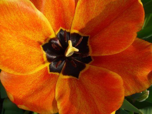tulpenbluete tulip spring