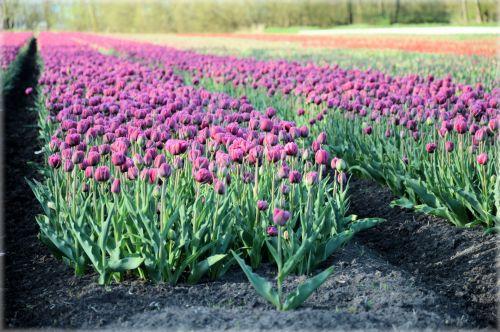 Tulips Field 2