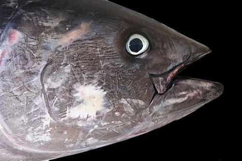 tuna red tuna fish