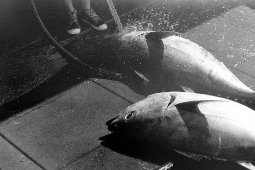 tuna fish fishing