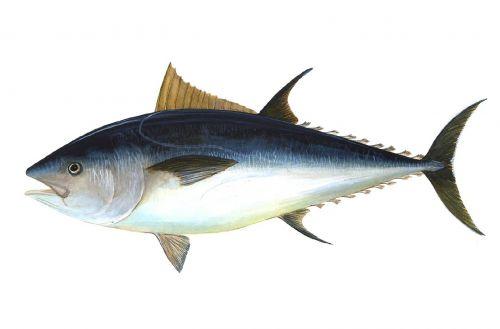 tuna fish bigeye tuna