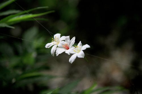 tung flowers white playboy