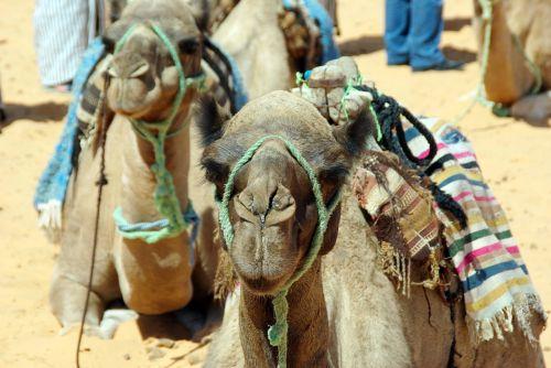 tunisia mehari dromedary camel