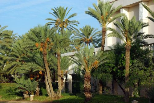 tunisia zarzis palm trees