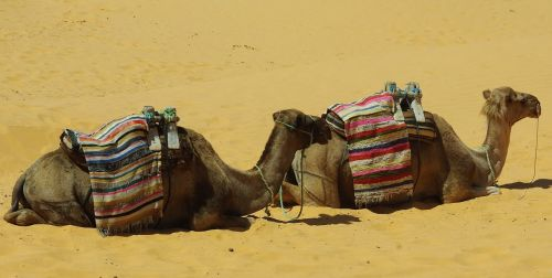 tunisia tataouine camels