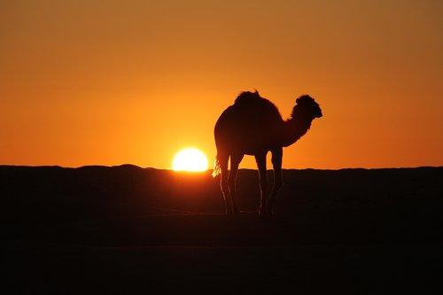 tunisia  desert  camel