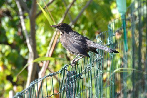 turdus merula blackbird birds