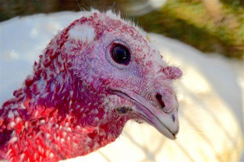 turkey farm bird