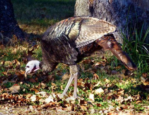turkey wild turkey wild