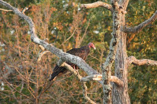 Turkey Buzzard Perched In Tree