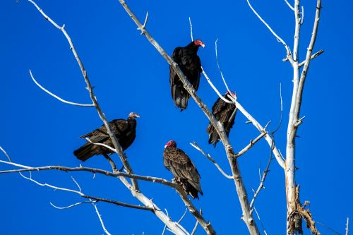 turkey vulture raptor scavengers