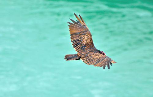 turkey vulture vulture bird