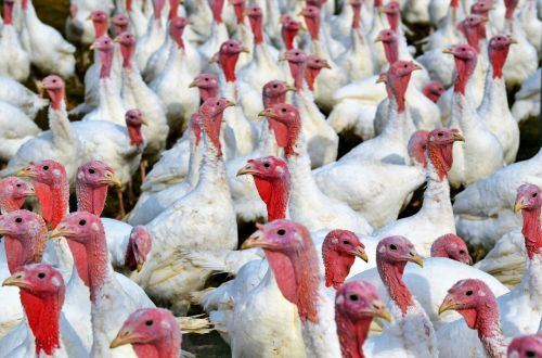 turkeys birds plumage