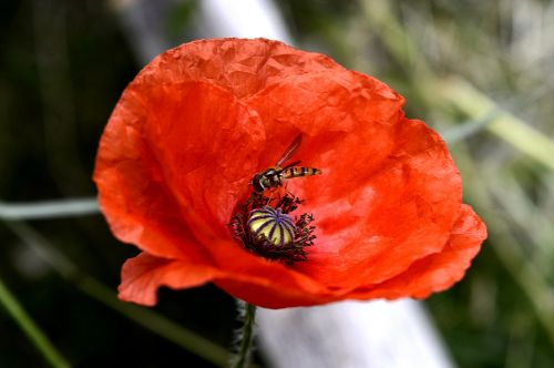 turkish poppy poppy plant red
