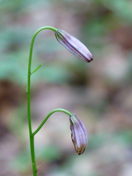 turk's cap lily bud pink