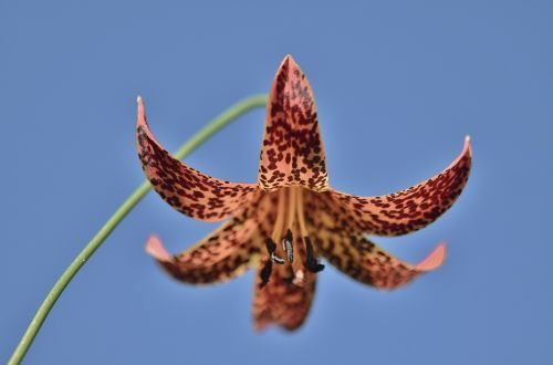 turk's cap lily lily flower