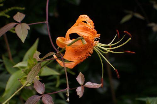 turk's cap lily lilium martagon blossom