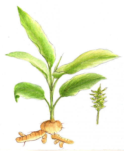 turmeric plant herb