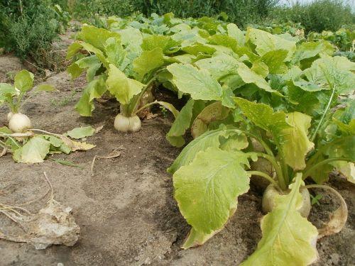 turnip fields green