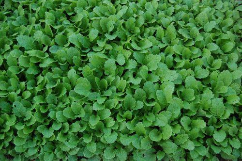 turnip greens vegetables food