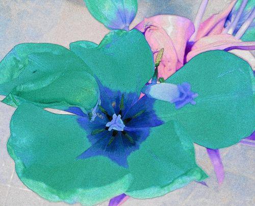 Turquoise Blue Tulip