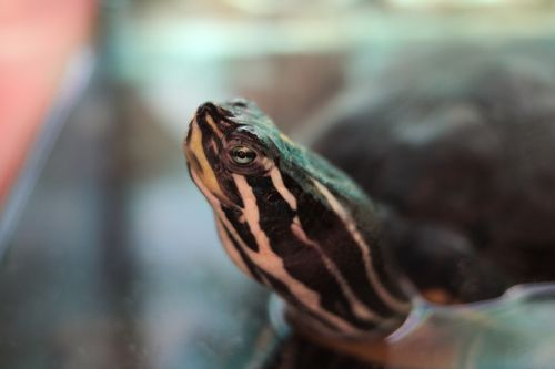 turtle water turtle reptile