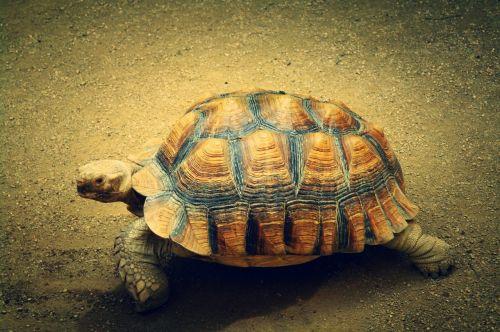 turtle animal sea turtle