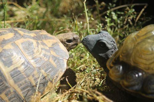 turtle illusion tortoise