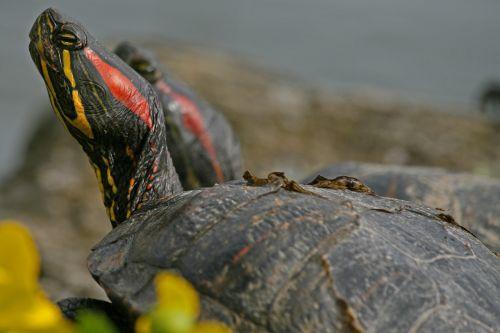 turtle red-eared slider water turtle