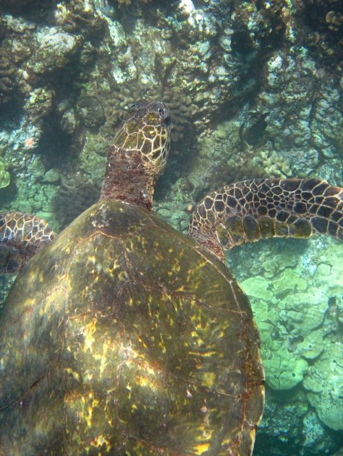 turtle hawaii panzer